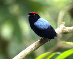 Blue-backed Manakin on trail