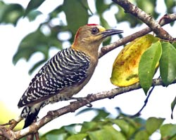 Red-crowned Woodpecker (male)