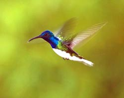 White-necked jacobin
