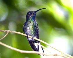 White-tailed Sabrewing (immature female)