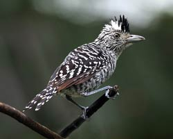 Barred Antshrike (male)