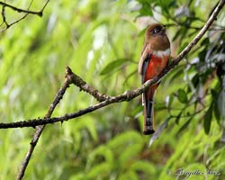 Collared Trogon female