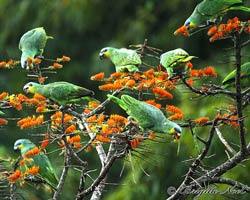 Flock of Orange-winged Parrots dining on mountain immortelle blossoms