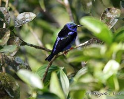 Red-legged Honeycreeper male