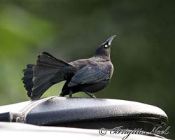 Carib Grackle male displaying