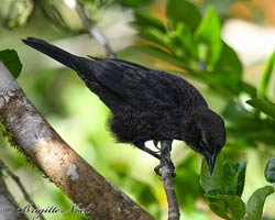 Shiny Cowbird, immature male