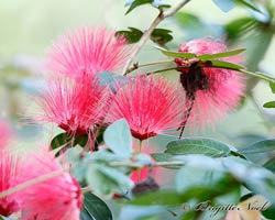 Pink Powder Puff, Calliandra emarginata