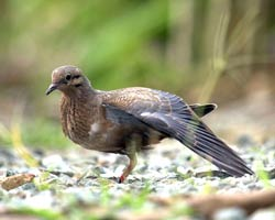 Eared Dove stretching