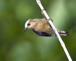Red-crowned Woodpecker (female)