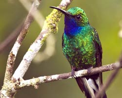 White-tailed Sabrewing (male)