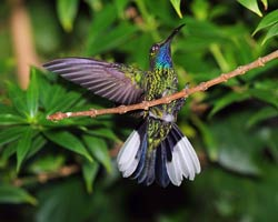 Male White-tailed Sabrewing