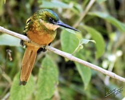Rufous-tailed Jacamar (female)