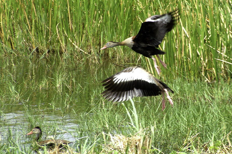 Wetland birding tours in Tobago